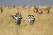 Zebras in dry grass with antelope in background