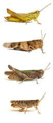 Grasshoppers isolated on white