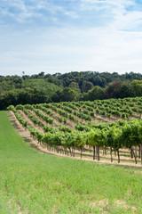 Weingarten am Hügel