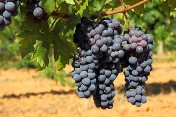 Grappoli di uva nera - Ciliegiolo - Row of black grapes