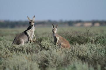 famille de kangourous