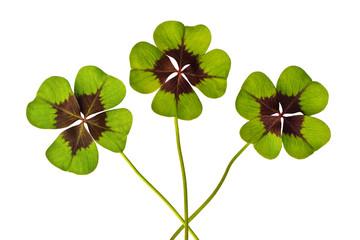 vierblättrige Kleeblätter, freigestellt