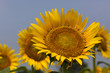 Sunflower078