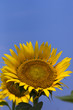 Sunflower137