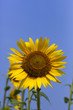 Sunflower138