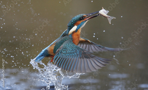 Fotobehang Vogel Kingfisher, Alcedo atthis