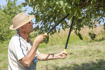 Man trimming the apple tree