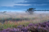 heather flowers on swamp in misty morning