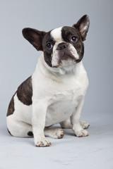 French bulldog black and white isolated against grey background.