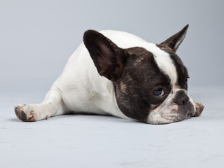 French bulldog black and white isolated against grey background.