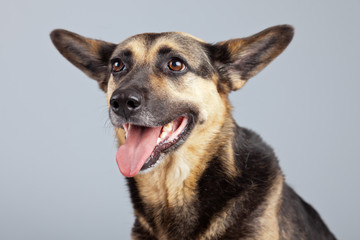 Funny mixed breed shepherd dog with big ears isolated against gr