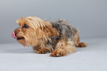 Red norfolk terrier dog isolated against grey background. Studio