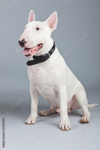 Bull terrier dog isolated against grey background. Studio portra