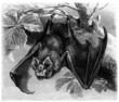 Bat - Chauve-Souris - Rhinilophus Ferrum-Equinum
