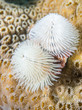 White Christmas Tree worm with coral background.
