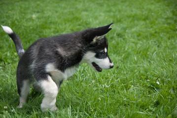 Alaskan malamute puppy chasing a fly
