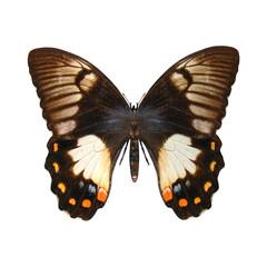Orchard Swallowtail Butterfly