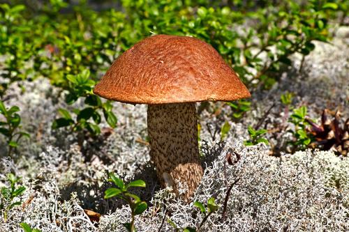 Mushroom in Karelia