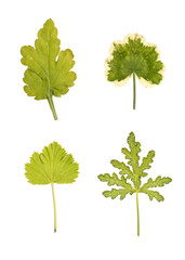 Set of different geranium leaves isolated on white