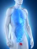 Male testes anatomy anterior view