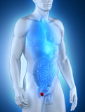 Male prostate anatomy anterior view
