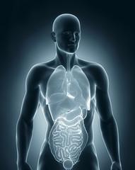 Man organs anatomy anterior view