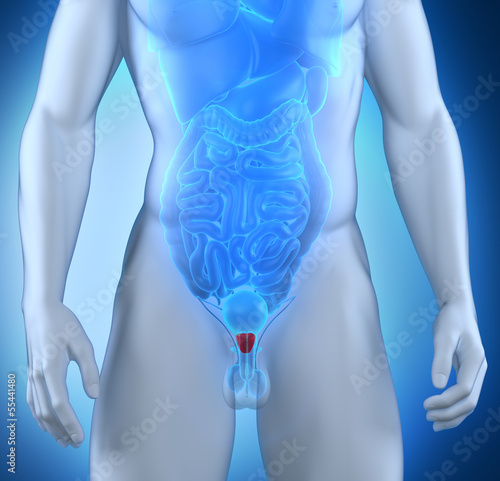 Male prostate anatomy