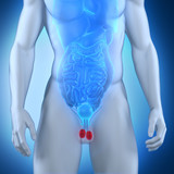 Male testes anatomy