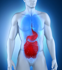 Male digestive system anatomy