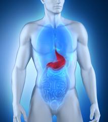 Male stomach anatomy