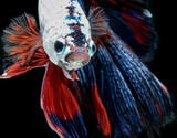 siamese fighting fish, betta isolated on black background