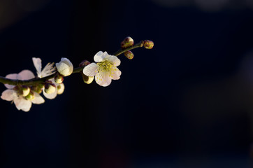 梅郷(バイゴウ)の花