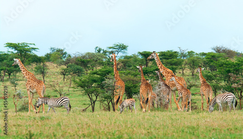 Wild Giraffes in the savanna