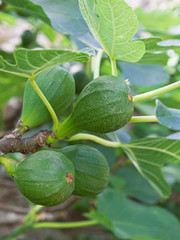 Unripened Common Figs