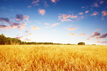 Wheat field and colorful sunset.