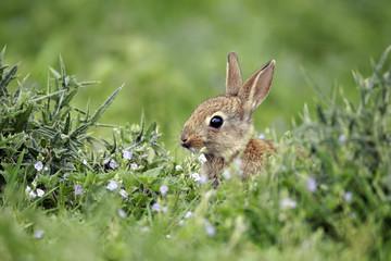 Rabbit, Oryctolagus cuniculus