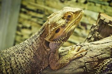 bearded dragons (pogona vitticeps)