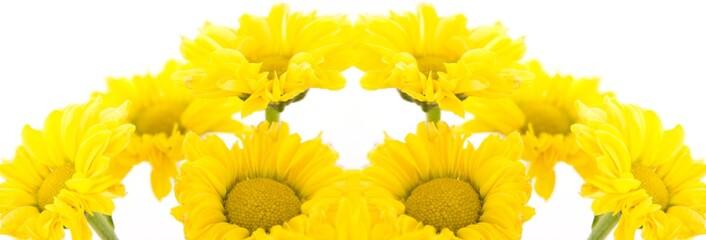 Beautiful yellow chrysanthemums on white background
