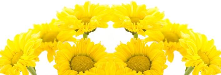 Beautiful yellow chrysanthemums on white background