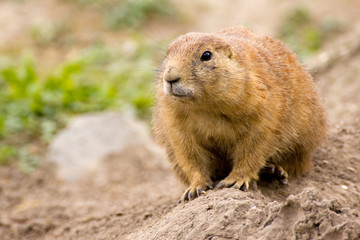 Close-up of a prairie dog (Cynomys)