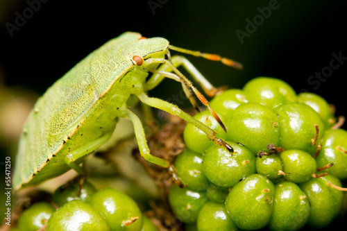 A green shield bug eating blackberries