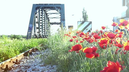 Red poppies on spring meadow with bridge in background