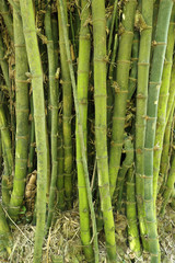 bamboo tree texture background