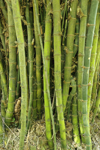 In de dag Bamboo bamboo tree texture background