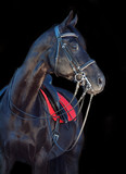 portrait of beautiful black dressage horse at black background
