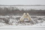 Polar Bears Mock Sparring during Snow Flurries poster