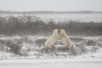Polar Bears Mock Sparring during Snow Flurries