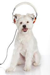 dog listening to music with headphones  isolated on white backgr