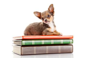 dog on books.   Chihuahua puppy