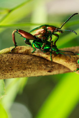 mating of beetle .